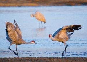 sandhill-crane10_rneibel